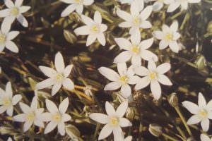 פרחי באך 10