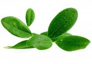 מכללת כרכור | שמן רבנסרה מזוקק מהענפים לטיפול בהתקררות, אסטמה, ברונכיט וכו'