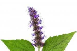 מכללת כרכור | שמן פטשולי (פצ'ולי) מופק מהפרח, באמצעות זיקוק בקיטור