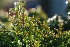 מכללת כרכור | שמן ברוש, שמן אתרי המופק מזיקוק ענפי ברוש