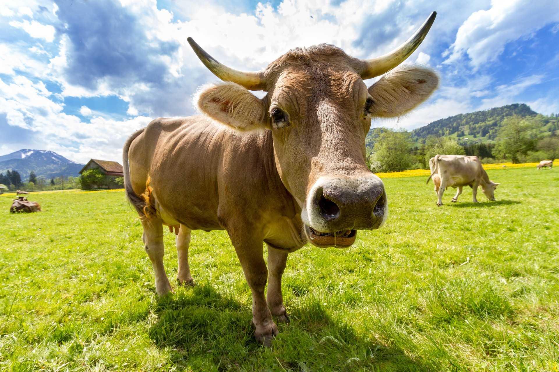 סיבות להימנע משתיית חלב ואכילת מוצרי חלב, גם בחג השבועות. רוצים להבין למה? התקשרו עכשיו 072-3924690 והרשמו למסלול לימודי נטורופתיה, מכללת כרכור